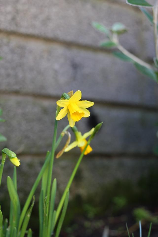 egleTV daffodils 2